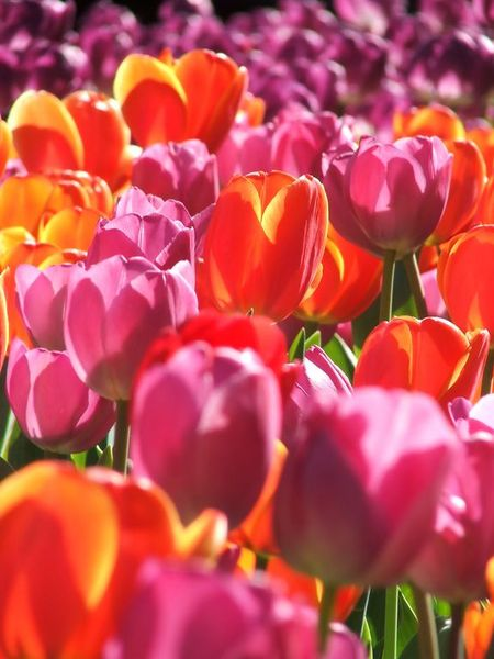 14_tulipany