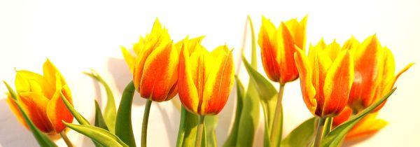 16_tulipany zihane 2