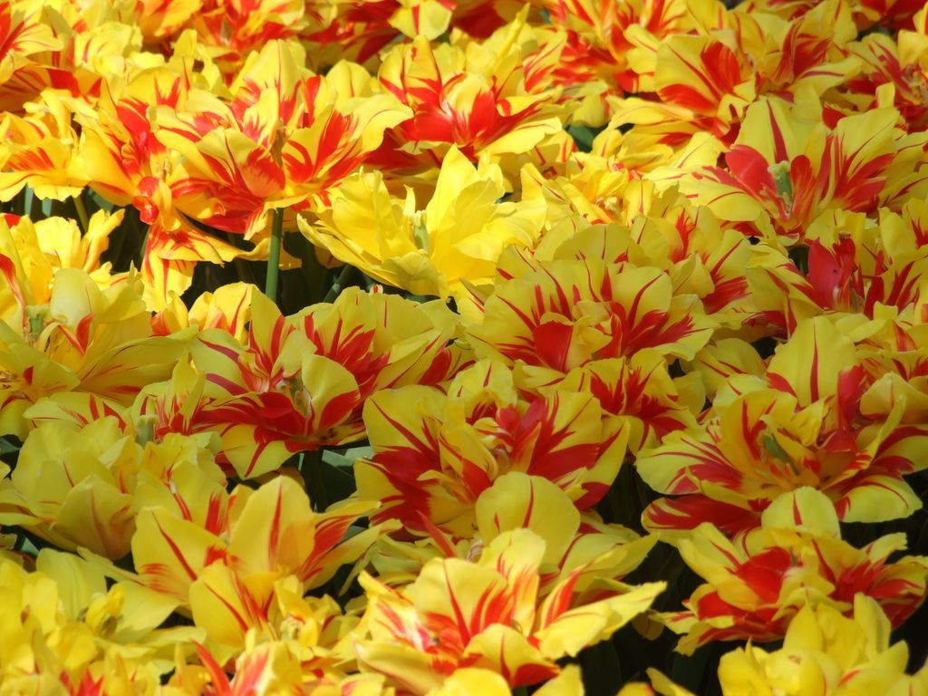 04_holandske tulipany