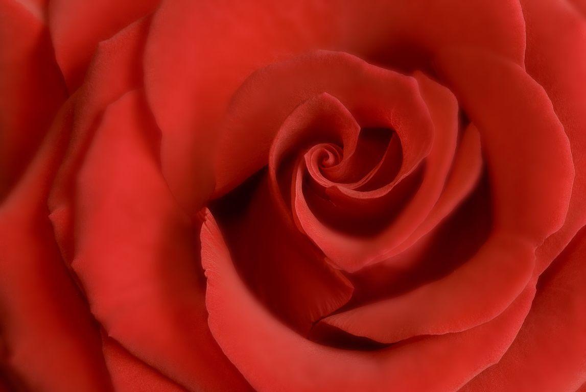 09_cervena ruze